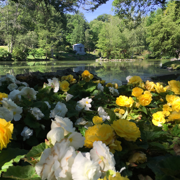 Begonias at 1st Pond at Newton Cemetery