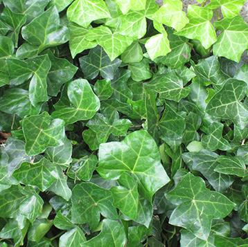 Newton Cemetery Ground Cover Ivy