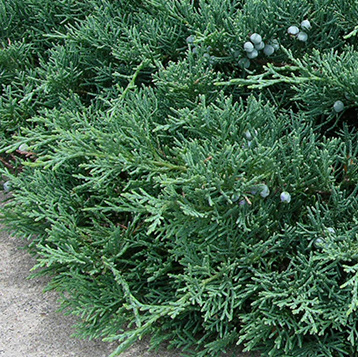 Newton Cemetery Ground Cover Juniper