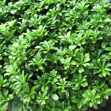 Newton Cemetery Pachysandra Ground Cover