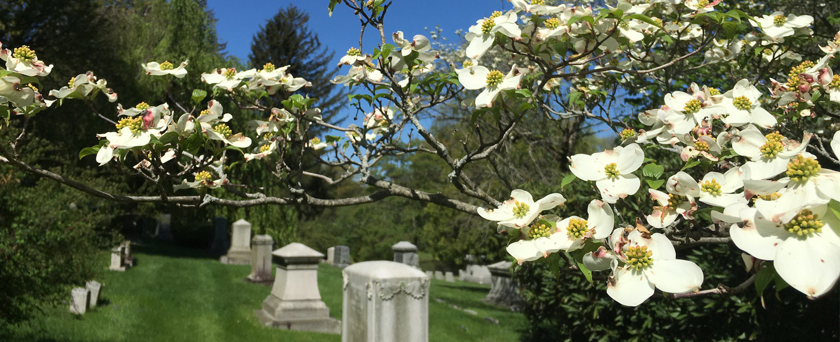 Dogwood in bloom at Newton Cemetery