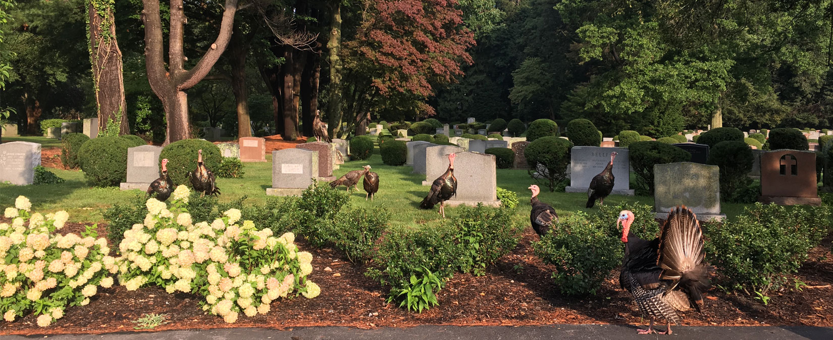 Turkeys in Newton Cemetery Parking Lot